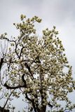 Magnolia tree in the Spring royalty free stock photo