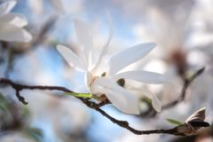 Blossoming of the magnolia kobus with beautiful white flowers, natural spring floral background. Macro image with copy space suitable for wallpaper or greeting royalty free stock image