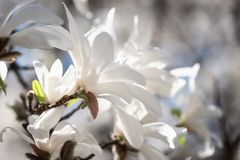 Blossoming of the magnolia kobus with beautiful white flowers, natural spring floral background. Macro image with copy space suitable for wallpaper or greeting stock photos