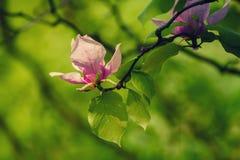 Magnolia spring flowers Stock Photo
