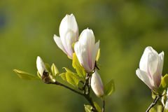 The blossoming magnolia of Sulanzha (Magnolia ×soulangeana Soul Stock Images