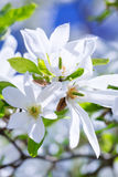 Blossoming magnolia tree Royalty Free Stock Photo