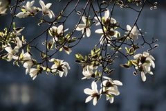 Blossoming magnolia tree Stock Image