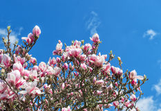 Blossoming magnolia tree. Spring flowers blue sky Royalty Free Stock Photos