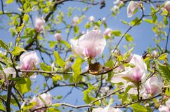 Blossoming magnolias in spring for inspiration and gift. royalty free stock photo
