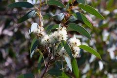 Blossoming mallee мыла стоковое фото rf