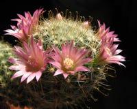 blossoming mammillaria dasiaconta кактуса Стоковые Фото