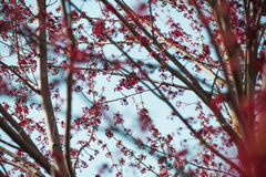 Blossoming maple branch Royalty Free Stock Photos