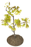 Blossoming Maple Tree Stock Images
