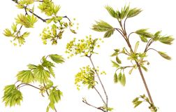 Blossoming  maple tree branches set Royalty Free Stock Photo