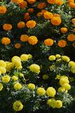 Blossoming Marigolds flowers in the garden. Many small orange and Yellow Flowers. Calendula in the par. K Stock Photos