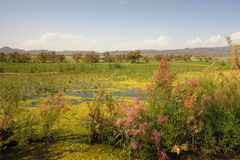 Blossoming marsh in the steppes Stock Images