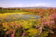 Blossoming marsh in the steppes Royalty Free Stock Image
