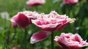 Blossoming Mascotte Fringed tulips in light spring wind, 4K