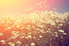 Blossoming meadow at sunset light Royalty Free Stock Photography
