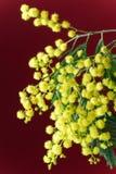 Blossoming mimosa Stock Image