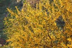 Blossoming mimosa Royalty Free Stock Image