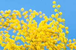 Blossoming mimosa Stock Photos