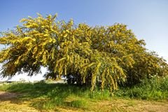 Blossoming mimosa tree. In the fields from Portugal in springtime royalty free stock image