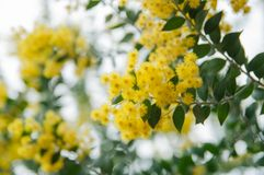 Blossoming of mimosa tree. Acacia podalyriifolia, yellow flowers in blooming. Australian Wattle in Bloom at spring time. Blossoming of mimosa tree. Superb bright royalty free stock photography