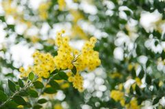 Blossoming of mimosa tree. Acacia podalyriifolia, yellow flowers in blooming. Australian Wattle in Bloom at spring time. Blossoming of mimosa tree. Superb bright stock photography