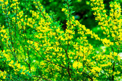 Blossoming of mimosa tree Acacia pycnantha, golden wattle close up in spring, bright yellow flowers, coojong, golden Royalty Free Stock Photography