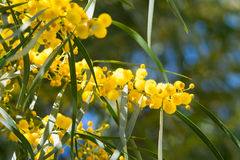 Blossoming of mimosa tree Acacia pycnantha, golden wattle close up in spring, bright yellow flowers, coojong. Golden wreath wattle, orange wattle, blue-leafed stock images