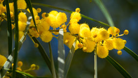 Blossoming of mimosa tree Acacia pycnantha,  golden wattle close up in spring, bright yellow flowers, coojong Royalty Free Stock Photography