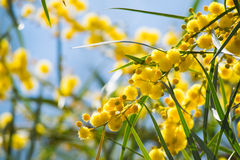 Blossoming of mimosa tree Acacia pycnantha,  golden wattle close up in spring, bright yellow flowers, coojong Royalty Free Stock Image