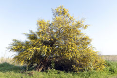 Blossoming mimosa tree in Portugal in springtime Royalty Free Stock Photos