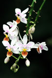 Blossoming Mini Orchid. Against Black Background Stock Photography