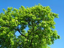 Green tree on a blue sky background. Blossoming mountain ash on a blue sky background Royalty Free Stock Image