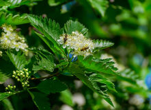 Blossoming of a mountain ash ordinary Sorbus aucuparia L. against the blue sky. Stock Photos