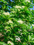 Blossoming of a mountain ash ordinary Sorbus aucuparia L. against the blue sky. Stock Image