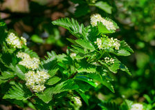 Blossoming of a mountain ash ordinary Sorbus aucuparia L. against the blue sky. Stock Photography