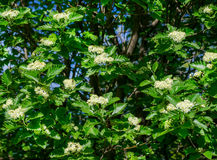 Blossoming of a mountain ash ordinary Sorbus aucuparia L. against the blue sky. Foliage and flowers of mountain ash with bee Stock Images