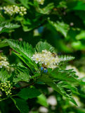 Blossoming of a mountain ash ordinary Sorbus aucuparia L. against the blue sky. Foliage and flowers of mountain ash with bee Royalty Free Stock Image