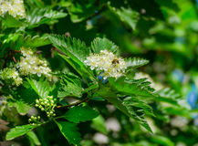 Blossoming of a mountain ash ordinary Sorbus aucuparia L. against the blue sky. Foliage and flowers of mountain ash with bee Royalty Free Stock Photography