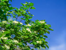 Blossoming of a mountain ash ordinary Sorbus aucuparia L. against the blue sky. Foliage and flowers of mountain ash with bee Stock Image