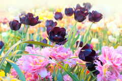 Blossoming  multi-colored tulips in  greenhouse Stock Images