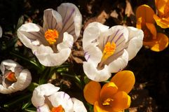 Blossoming multi-coloured crocuses Royalty Free Stock Images