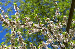 Blossoming nanking cherry Royalty Free Stock Photography