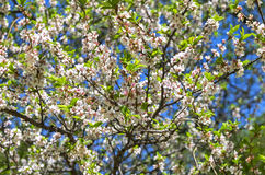 Blossoming nanking cherry Stock Photos