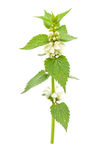 Blossoming nettle Royalty Free Stock Photography
