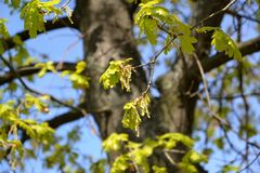 Blossoming of an oak of English, Quercus robur L. Spring Stock Photo