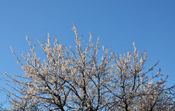 Blossoming old apricot tree Stock Photo