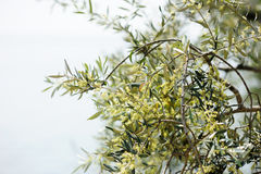 Blossoming olive tree Royalty Free Stock Photos