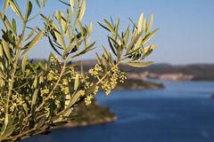 Blossoming Olive Tree Royalty Free Stock Photo