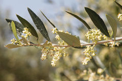 Blossoming olive tree branch Greece Royalty Free Stock Images