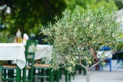 Blossoming olive tree in greek cafe Stock Photos